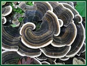turkey_tail_mushroom